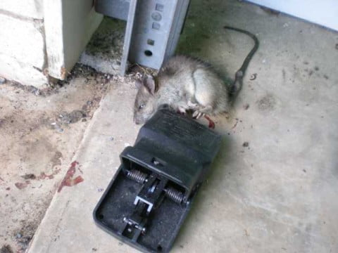 rat or mouse 1