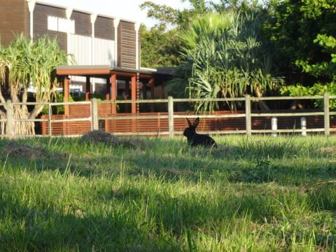 wild rabbits in australia (2)