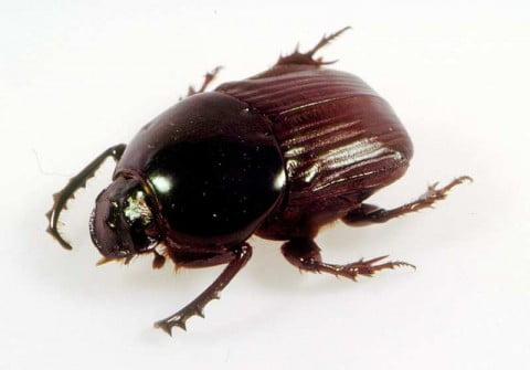 The dung beetle