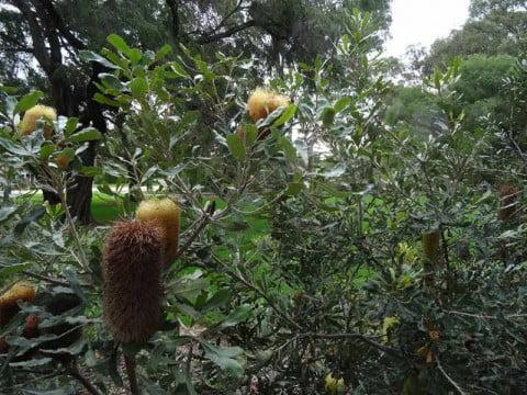 Menzies Banksia