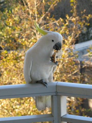Cockatoo holding food in one claw.