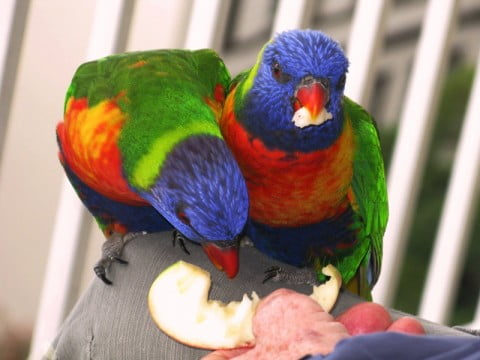 lorikeets eating apple