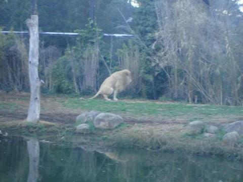 lion pooping