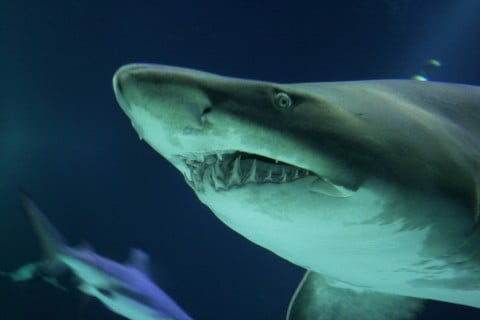 shark smiling