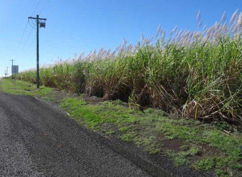 cane-fields