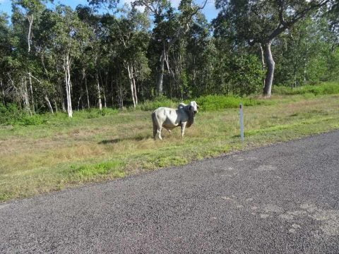 cow by the road